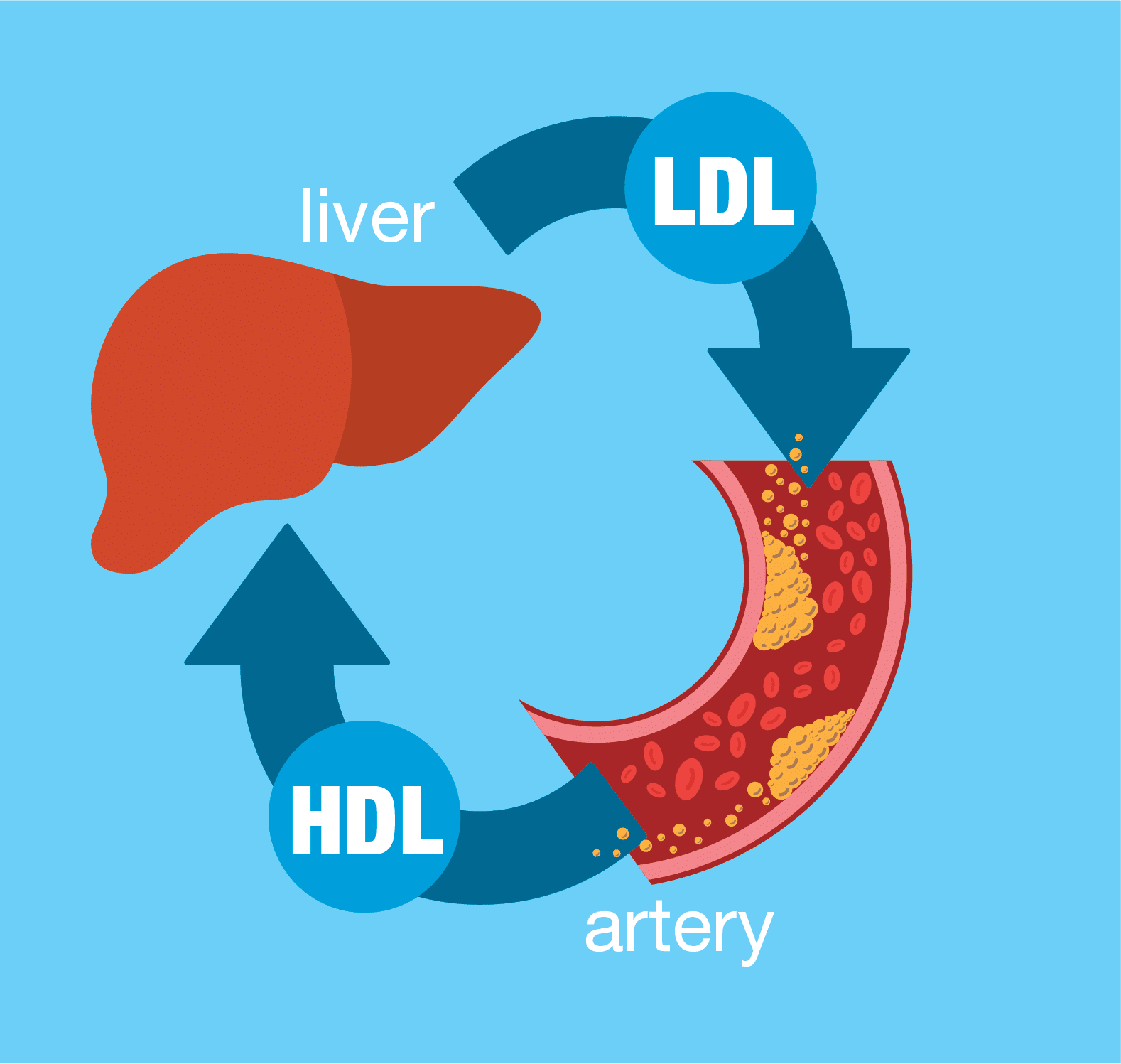 Did you know that there is good cholesterol and bad cholesterol?